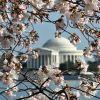 Los simbólicos cerezos de Washington
