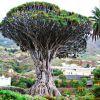 El drago, árbol sanguinoliento