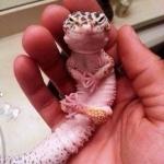 Gecko Leopardo, adorable e insecticida