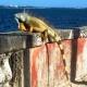 ¿Humanitario? Preguntale a las iguanas