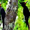 Pájaros carpinteros uruguayos