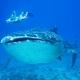 Dale un besito al tiburón ballena