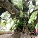 El ombú más viejo del viejo mundo tiene ascendencia uruguaya