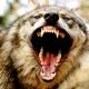 Lobos gigantes de 30 mil años