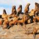 Los lobos marinos del Uruguay