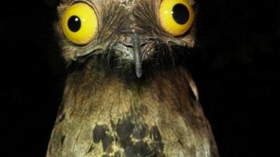 Urutaú, nuestro pájaro fantasma