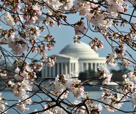 Jefferson Memorial is seen trough cherry blossom trees adjacent to the Tidal Basin on the National Mall in Washington, DC, on March 17, 2012. The iconic trees are beginning to bloom, with the National Park Service forecasting peak bloom between March 20 and 23, one of the earliest years on record due to warmer than average temperatures. AFP PHOTO/MLADEN ANTONOV