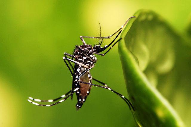 1200px-Aedes_aegypti