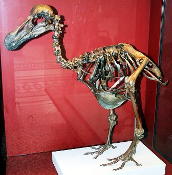 588px-Dodo-Skeleton_Natural_History_Museum_London_England