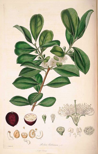 654px-16_Psidium_cattleianum_-_John_Lindley_-_Collectanea_botanica_(1821)