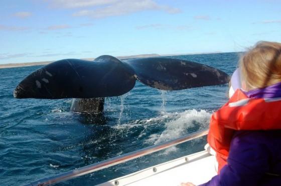 El avistaje de ballenas abordo de lanchas es la principal actividad turística del año en Península Valdés. Miles de visitantes lo hacen cada año. Las ballenas se acercan mucho a las embarcaciones, juegan, y se muestran para los asombrados turistas. Son momentos mágicos.