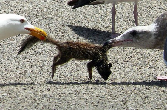 800px-Larus_occidentalis_-_adult_and_juvenile_tug-o-war_over_ground_squirrel