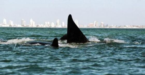 Ballenas en Punta del Este
