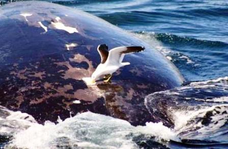 Ballenas-vs-gaviotas ok 1