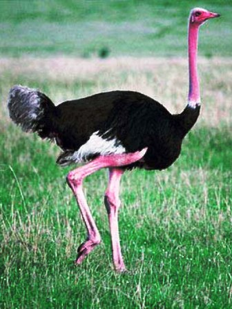 Fotos-de-avestruz-solitaria