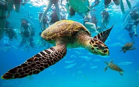 Hawksbill-sea-turtle-turtle-underwater-ocean-caribbean-sea-barbados-photo
