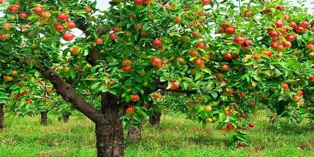 Kisah Tentang Pohon Apel_2014-09-19 10 05 13_Kisah Tentang Pohon Apel