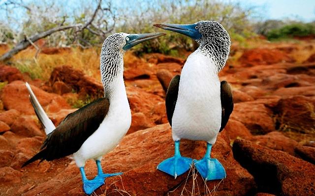 La-foto-del-dia-el-curioso-pajaro-bobo-de-patas-azules