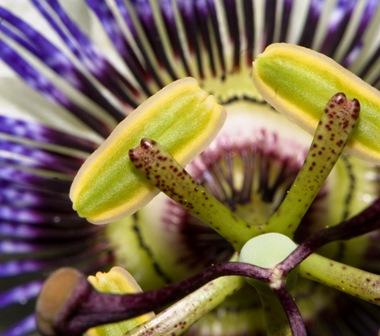 MBURUCUYA_Passiflora_caerulea.-21