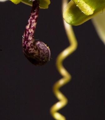 MBURUCUYA_Passiflora_caerulea.-9