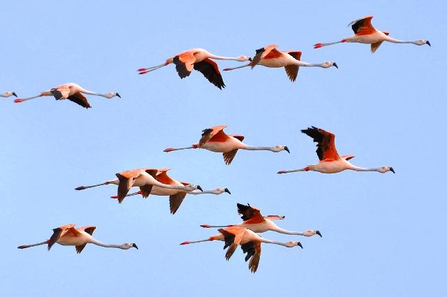Phoenicopterus_chilensis_-Tavares,_Rio_Grande_do_Sul,_Brazil_-flying-8 (1)