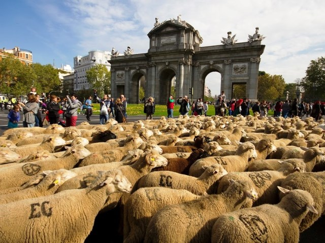 Rebano-de-ovejas-pasando-junto-a-la-Puerta-de-Alcala-de-Madrid-en-plena-trashumancia