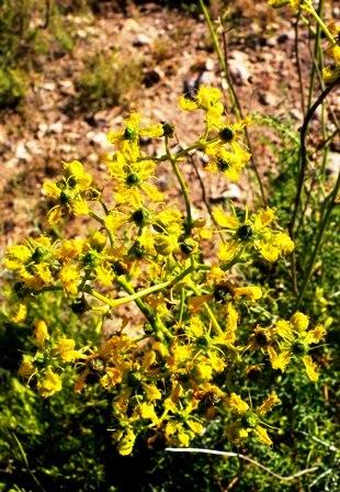 Ruta_angustifolia