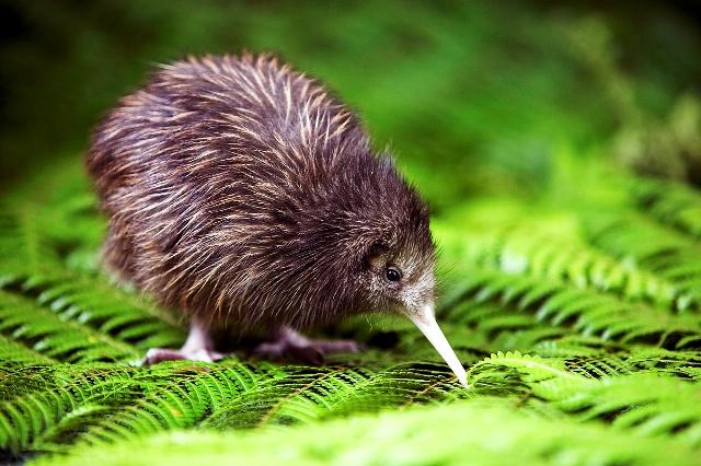 a kiwi