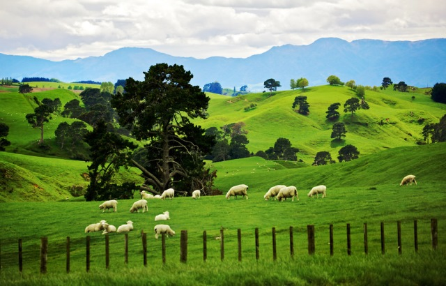 a ovejas