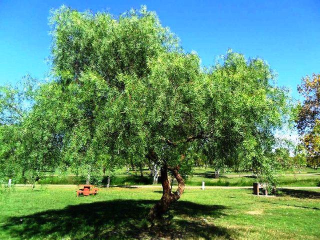 anacahuita-arbol-buena-sombra-entre-60-y-80-cm-de-altura-D_NQ_NP_952548-MLU26315318977_112017-F