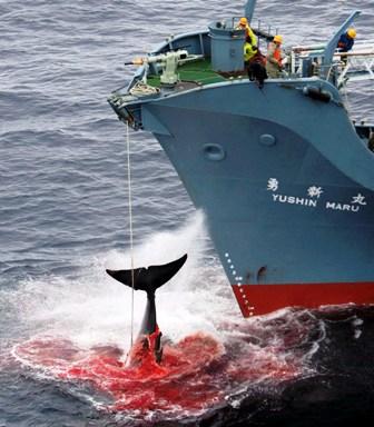 EPA04 OCÉANO MERIDIONAL (AUSTRALIA) 21/12/07.- Fotografía de archivo tomada el 7 de enero del 2006 facilitada por la organización ecologista Greenpeace del barco ballenero Nisshin Maru tras herir con un arpón una ballena en el sur del Océano Atlántico. El Gobierno japonés anunció hoy viernes 21 de diciembre que ha decidido suspender la captura de ballenas jorobadas, que iba a emprender este año por primera vez desde la moratoria impuesta en 1963 y que había creado una fuerte controversia internacional. El ministro portavoz japonés, Nobutaka Machimura, indicó que la caza de esas ballenas quedará suspendida mientras se negocia la reforma de la Comisión Ballenera Internacional, pero se mantendrá la llamada campaña científica para la captura de los otros cetáceos, según informó la agencia local Kyodo. EFE/Kate Davison FOTO CEDIDA SOLO USO EDITORIAL AUSTRALIA BALLENAS2007-174388.JPG