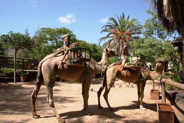 camellos-oasis-park