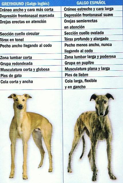 diferencia galgo español ingles (1)