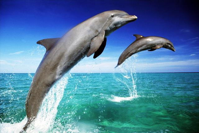 dolphins-tursiops-truncatus-two-leaping-out-of-sea-mike-hill