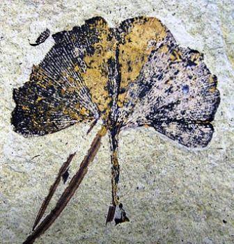 fosil Eoceno