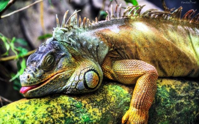 iguana-en-reposo-9566
