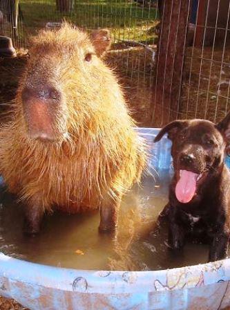 los-capibaras-son-animales-extremadamente-sociables-32-1