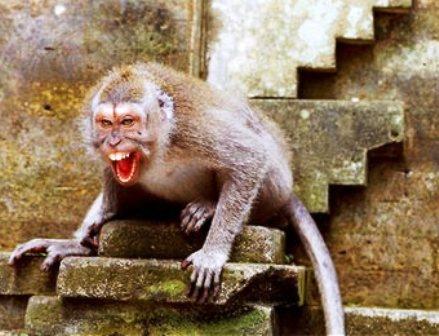 monkeysindia1