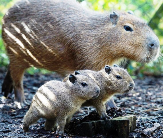 Charlie keeps an eye on his new twin capybara babies, Gus and Jacques on May 24 at The Belfast Zoo in Northern Ireland. Capybaras originate from South America and are technically from the rodent family. The twins were born on April 3, 2012. (Photo by The Belfast Zoo)