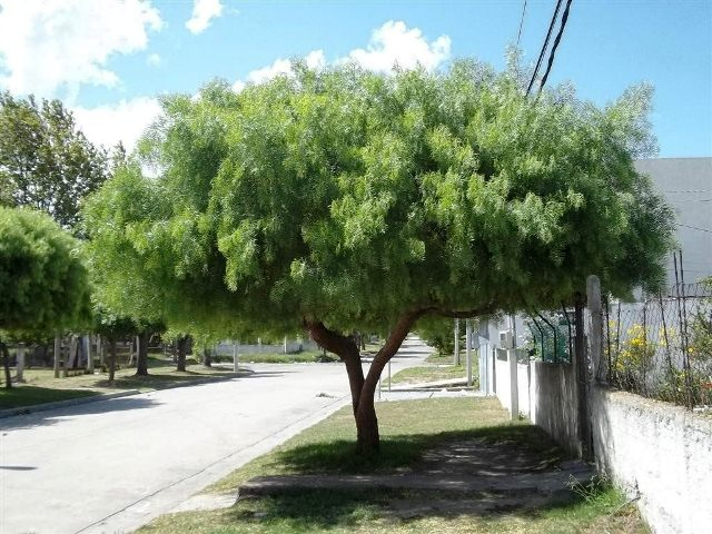plantas-arbol-ceibo-D_NQ_NP_474411-MLU20566975658_012016-F