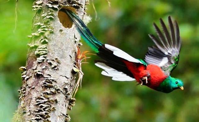 quetzal_ave_peligro_de_extincion