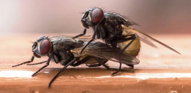 reproduccion-de-las-moscas (1)