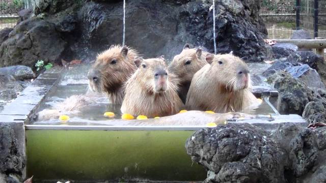 the-capybaras-of-saitama-childre (1)